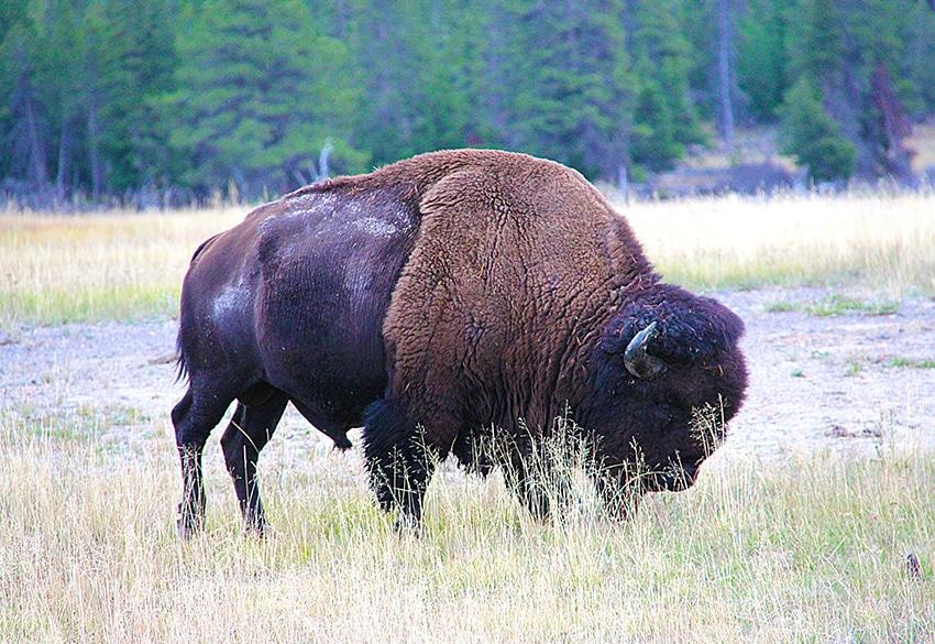 Anblick eines in Freiheit lebenden Büffels